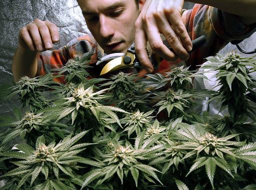 Using of Medical Marijuana